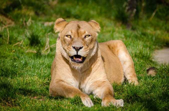 lion lying on grass during daytime